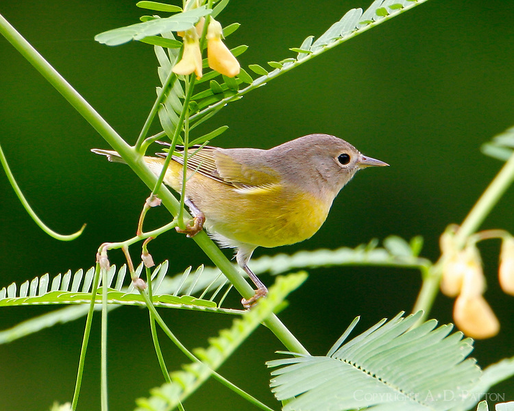 Adult female Nashville warbler