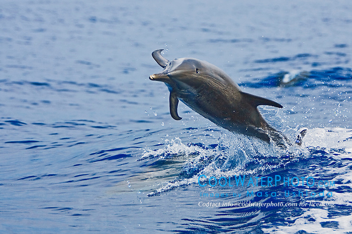 Pantropical Spotted Dolphin, Stenella attenuata, jumping out of boat wakes, off Kona Coast, Big Island, Hawaii, Pacific Ocean.