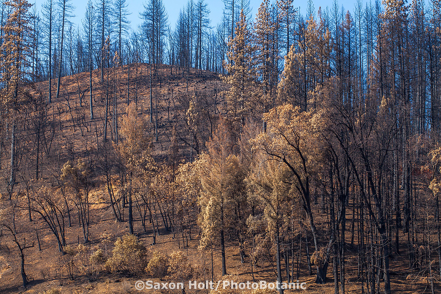 Burned forest hillside, Delta Fire aftermath; Shasta-Trinity National Forest, California