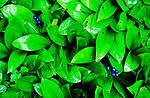 Blue berry plants after a rain shower.