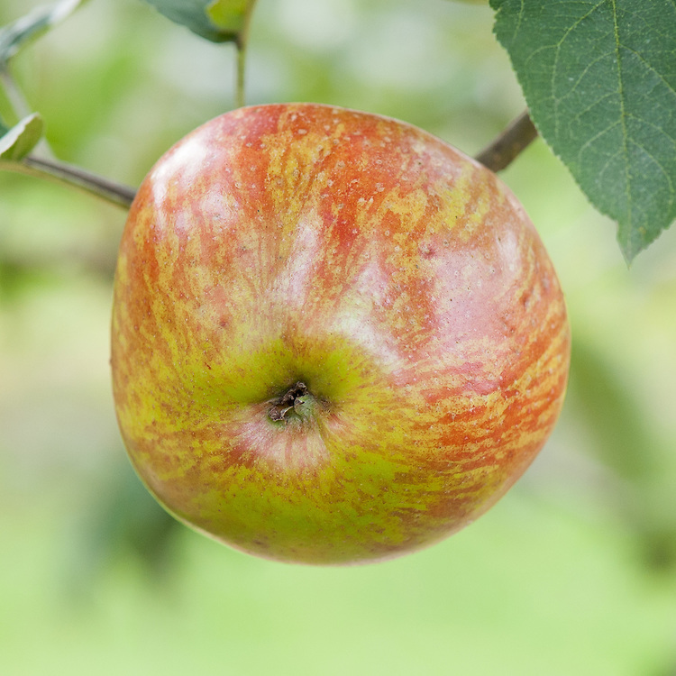 Apple 'Lewis's Incomparable', late September. An English culinary apple dating back to the late 18th century.