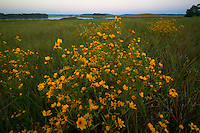 Evening sunflowers on Big Sandy River