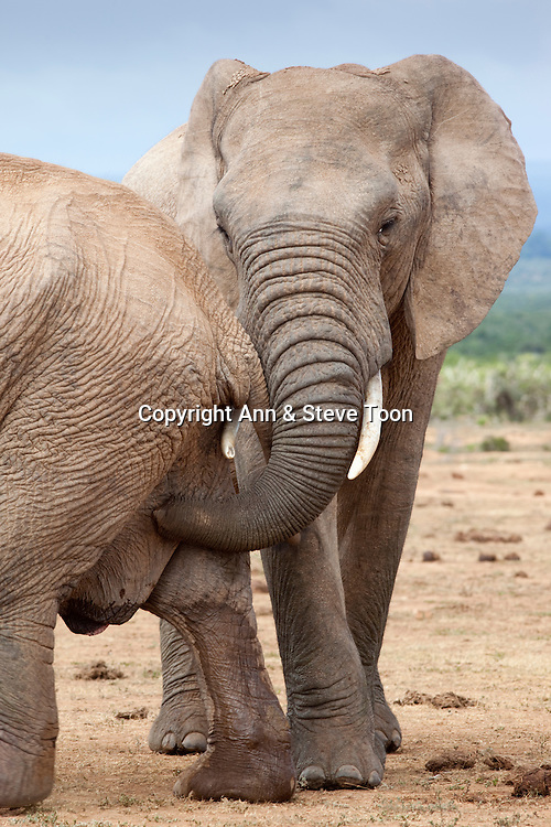 Elephant, Loxodonta africana, bull urine testing female, Addo national park, Eastern Cape, South Africa