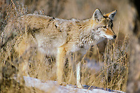 Coyote (Canis latrans), Great Basin, winter.
