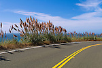 Pampas Grass (Cortaderia selloana) growing along the Pacific Coast Highway, near Bodega Bay, California