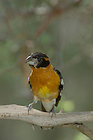 Black-headed Grosbeak, Pheucticus melanocephalus, male, Paradise, Chiricahua Mountains, Arizona, USA, August 2005