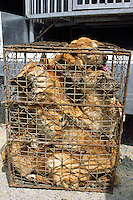 Korea. South Korea. Kimje area. Wonpyong. Dog market for dog meat. Dogs squeezed together in a tight cage . A dog meat's retailler has bought the dogs and will transfer them on the  back of his pick-up truck.  Dog meat is a delicatessen of korean traditionnal cooking.  © 2002 Didier Ruef