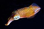Lolliguncula brevis, Atlantic brief squid, Roatan