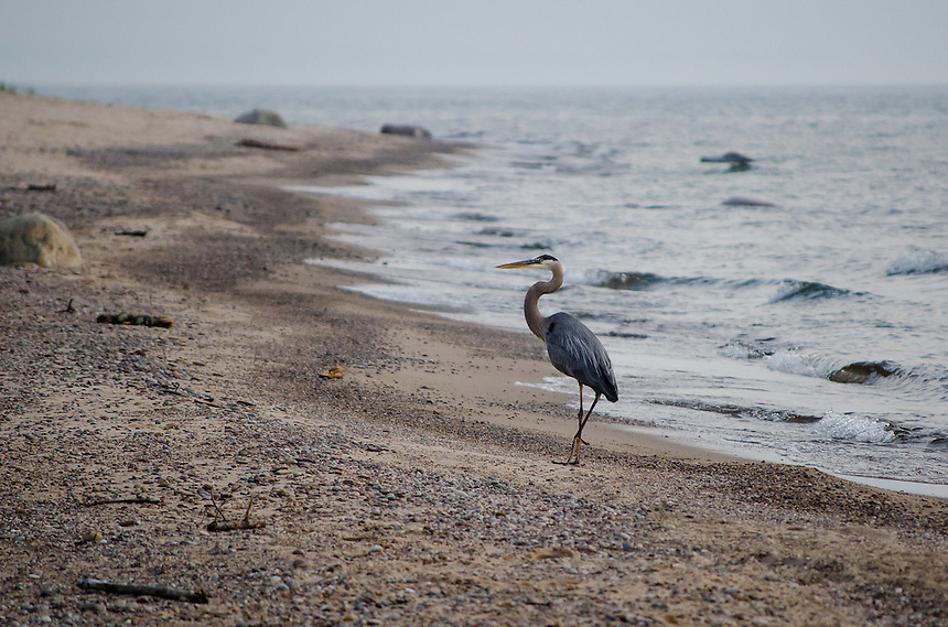 A Great Blue Heron along the Pictured Rocks National Lakeshore. Grand Marais, MI