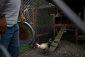 Jacksonville, Florida<br /> November 4, 2013<br /> <br /> Veteran's sustainable farm founded by Purple Heart veteran Adam Burke and managed by Afghan and Iraqi veteran Steve Ellseberry.<br /> <br /> Ex-Marine Shaun Valdivia and army vet Steve Ellseberry feed the farm's chickens. The rooster is know to attack so Steve carries a trash can lid for protection himself when entering his pen.