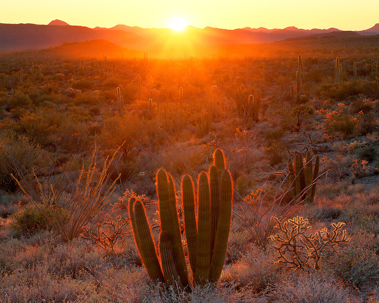 Sunset light on a field of  Organpipe and Saguaro cacti in the Ajo Mountains; Organpipe Cactus National Monument, AZ