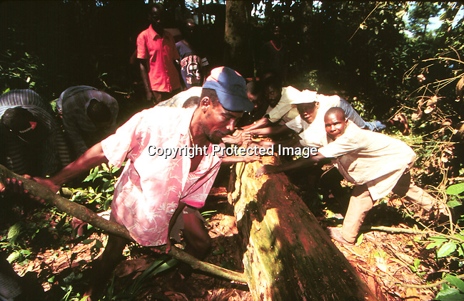 COCONGO35019 .Congo. Workers taking out valuable wood from the rainforest for export to overseas clients 1996..©Per-Anders Petterson/iAfrika Photos