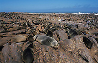 Brown Fur Seal (Arctocephalus pusillus), colonie, Cape Cross, Namibia, Africa