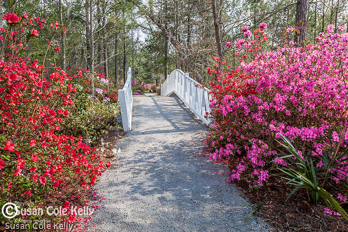 Azalea-lined paths at Cypress Gardens in Moncks Corner, South Carolina, USA