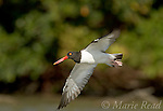 American Oystercatcher (Haematopus palliatus), adult in flight, Tampa Bay, Florida, USA