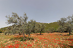 Israel, Upper Galilee. Olive trees in Ein el Assad