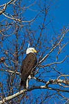 Bald eagle in the Crex Meadows wildlife area in northwestern Wisconsin.
