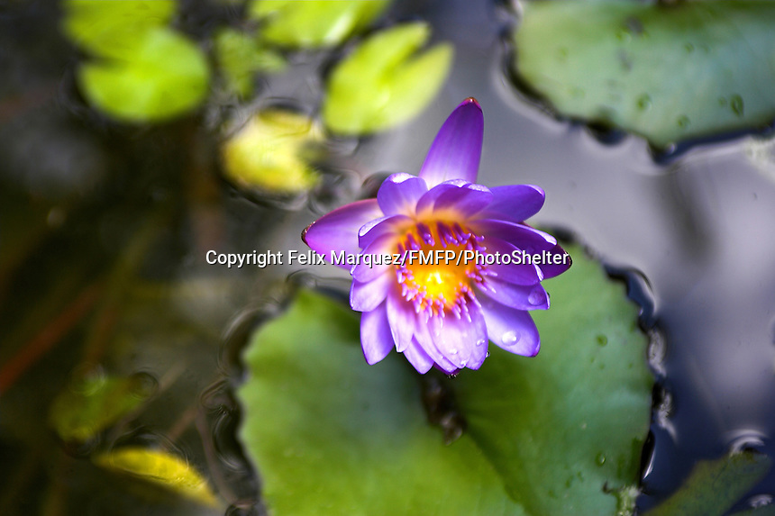 Water lily is a common name for a small family of aquatic plants. The water lily's scientific family is Nympheaceae of the order Nymphaeales. The representative genus of the family is Nymphaea. St Johns, Virgin Isles..