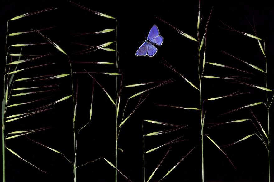 Winter Wild Oat, Avena ludoviciana, and Escher&rsquo;s Blue butterfly, Polyommatus escheri.<br /> Stenje region,  Lake Macro Prespa (850m) <br /> Galicica National Park, Macedonia, June 2009<br /> Mission: Macedonia, Lake Macro Prespa /  Lake Ohrid, Transnational Park<br /> David Maitland / Wild Wonders of Europe