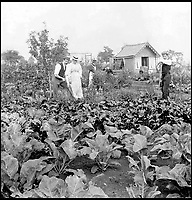 BNPS.co.uk (01202 558833)<br /> Pic: GardenMuseum/BNPS<br /> <br /> A family come together on the plot.<br /> <br /> These fascinating old pictures show that allotments have been a passion of the British for centuries.<br /> <br /> Today, more than 90,000 people are on waiting lists to get their own little patch of land to grow vegetables, and the pastime was just as popular in the early years of the 20th century.<br /> <br /> Garden historian and lecturer Twigs Way has sourced dozens of images of green-fingered Brits tending to their allotments during the 'allotment craze' amongst the middle classes sparked by the Allotments Act of 1908 which required councils to supply them when demanded.<br /> <br /> Families would decamp to the allotment on a Sunday and picnic among the cabbages, dividing tasks with the husband digging, the wife collecting crops and the children weeding or caterpillar picking.<br /> <br /> They grew cabbage, carrots, leeks, parsnips, beet, marrow and spinach while also staying faithful to the Victorian favourites seakale, salsify, scorzonera and asparagus.<br /> <br /> The allotments helped keep the British fed during the two world wars but fell out of favour in the 1960s and 1970s with elderly plot holders cast as villains in the battle to free up land for the housing boom.<br /> <br /> But, prompted by a desire amongst Brits to reconnect with the land, they are now in the throes of a full-scale revival.