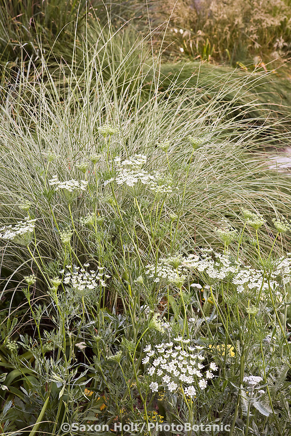 White flower Queen Anne's Lace, Daucus carota (wild carrot) with variegated ornamental grass Miscanthus sinensis 'Morning Light' in backyard garden