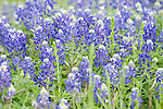 Columbia Ranch, Brazoria County, Damon, Texas; Bluebonnets (Lupinus texensis) flowers blanket a field, they are the official state flower of Texas