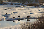 Grizzly Bear 399 and her three cubs forage in the snow for food at Oxbow Bend in Grand Teton National Park, Wyoming.