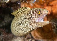 Golden Tail Moray Eel.