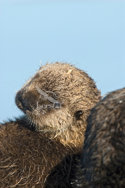 Sea Otter (Enhydra lutris) pup leaning against mom.