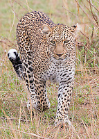 Leopard Walking  Kenya 2015