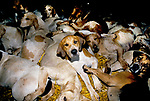 'DUKE OF BEAUFORT HUNT', HAVING EATEN, THE HOUNDS CLEAN THEMSELVES BEFORE GOING TO SLEEP