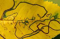 Obstbaumminiermotte, Obstbaum-Miniermotte, Schlangenminiermotte, Schlangen-Miniermotte, Miniermotte, Fraßgang, Fraßgänge, Miniergang, Miniergänge in Blatt, Lyonetia clerkella, apple leaf miner, Blattminiermotten, Blatt-Miniermotten