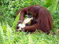 Adult Female Orangutan (Pongo pygmaeus)  with Juvenile tearing a coconut apart to eat. - Samboja Lestari National Park is the location of Samboja Lodge as part of BOS (The Borneo Orangutan Survival Foundation)