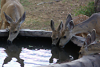 Mule Deer(Obocoileus hemionus) Does and Fawns gather at a ranchers water tank regularly for a drink during hot summer days. In southern Utah's Dixie National Forest.