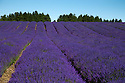 09/07/15<br /> <br /> Artist, Claudia Araceli, paints the scene at Cotswold Lavender where 35 different varieties of lavender paint their own different shades of purple across the Vale of Evesham in Worcestershire. Over the last 15 years 250,000 plants have been planted in rows totalling more than 70 miles. The lavender is distilled on the farm and used in a variety of lavender products. Claudia and a dozen members of the Cheltenham Art Club today joined coach loads of visitors who flocked to witness the spectacle today.<br /> <br /> All Rights Reserved - F Stop Press.  www.fstoppress.com. Tel: +44 (0)1335 418629 +44(0)7765 242650