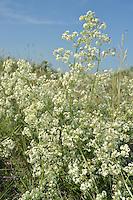 Heath Bedstraw - Galium saxatile