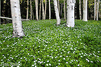 Bunchberry flowers bloom in a glade of birches in the White Mountain National Forest in New Hampshire