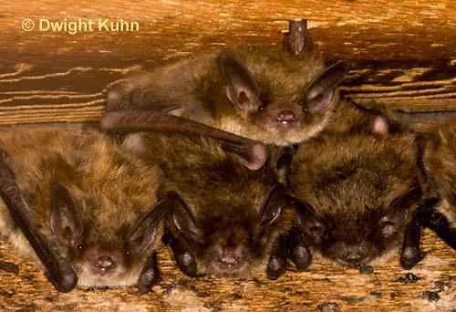 MA20-547z  Little Brown Bats, Myotis lucifugus