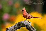 Northern Cardinal (Cardinalis cardinalis) male in summer with garden flowers (black-eyed susans, coneflowers) in background, New York, USA
