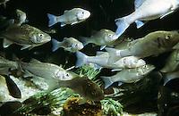Gemeiner Wolfsbarsch, Wolfbarsch, Schwarm, Fischschwarm, Schwärme, Wolfs-Barsch, Seebarsch, See-Barsch, Dicentrarchus labrax, syn. Roccus labrax, Morone labrax, sea bass, European sea bass