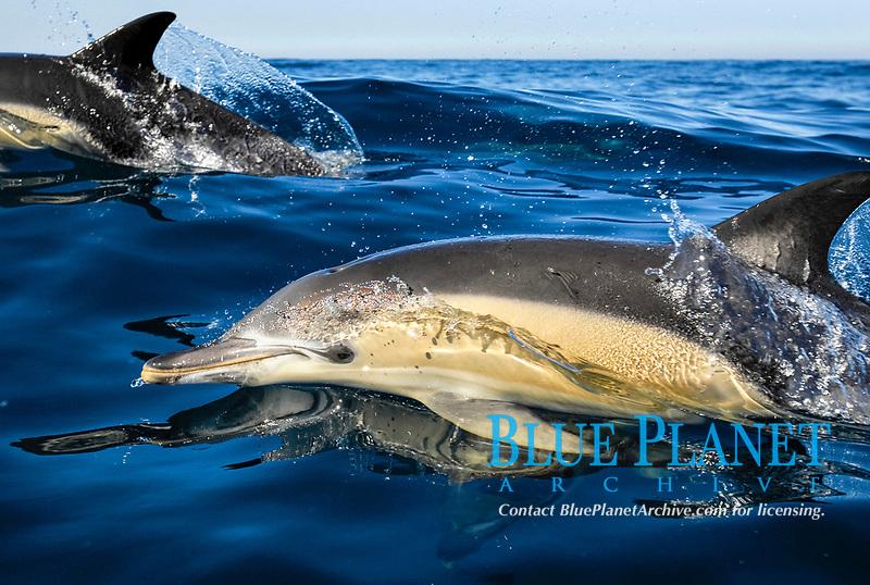 short-beaked common dolphin, Delphinus delphis, Azores, Portugal, Atlantic Ocean