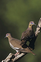 White-winged Dove (Zenaida asiatica), pair perched, Starr County, Rio Grande Valley, Texas, USA