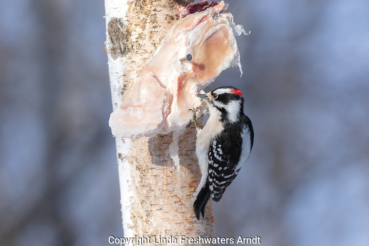 Male downy woodpecker pecking at some deer fat nailed to a birch tree.