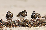 Grand Bahama Island, The Bahamas; three Ruddy Turnstone (Arenaria interpres) birds on the sand at Taino Beach