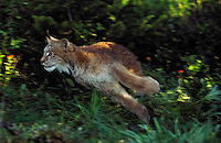 LYNX making quick leap from shadows..Summer. Rocky Mountains..(Felis lynx canadensis).