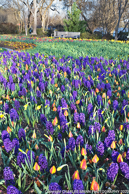 Hyacinths and tulips in bud make a carpet of color at the Dallas Arboretum in March.