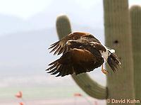 0405-1229  Harris's Hawk in Flight, Harris Hawk (Bay-winged Hawk or Dusky Hawk), Parabuteo unicinctus  © David Kuhn/Dwight Kuhn Photography