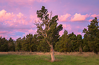 Twilight with old totara tree on farmland in Whataroa, South Westland, West Coast, New Zealand, NZ