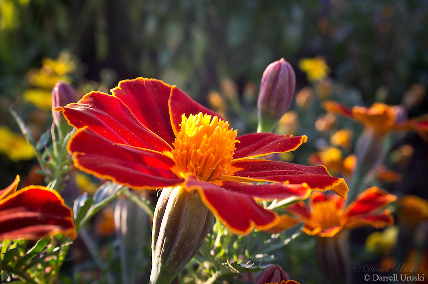 Sunlight creating transparency on the petals of a beautiful flower in full bloom. A great poster photograph.