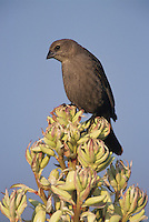 Brown-headed Cowbird, Molothrus ater,female on blooming Trecul Yucca (Yucca treculeana), Lake Corpus Christi, Texas, USA